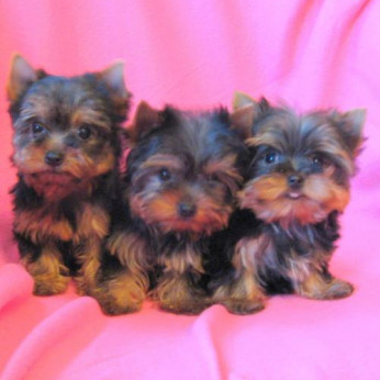 Mini yorkshire terrier mi